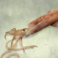 calamar
