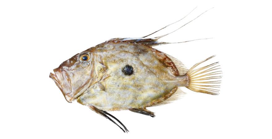pez san pedro precio